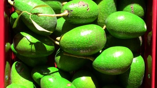 Fuerte avocado harvest