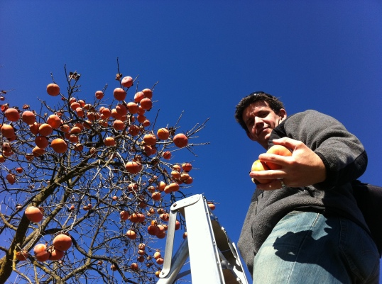 Persimmon picking