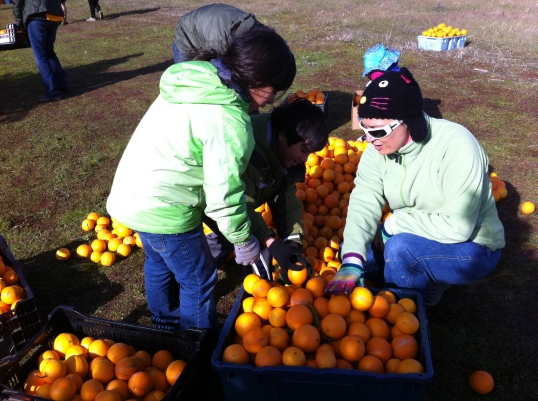 Volunteers sort oranges