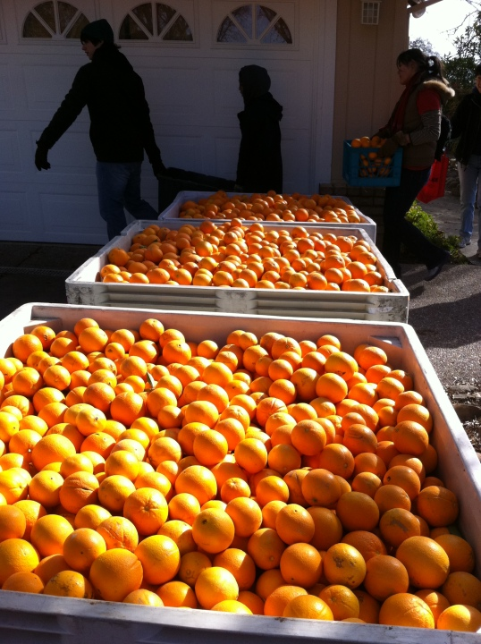 Navel orange harvest