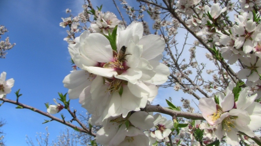 Bee with almond blossom