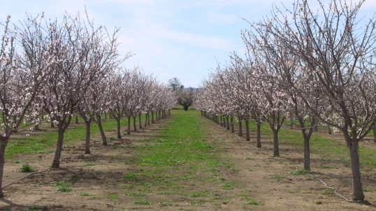 Capay Valley almond blossoms